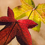 AutumnLeaves ByPotgieter