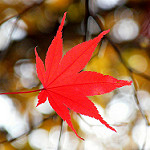 Getting Its Sea Legs: On Restaking the Maple Tree