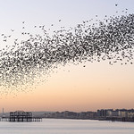 How (and Why) Do They Do That? Notes on the Murmuration of Starlings